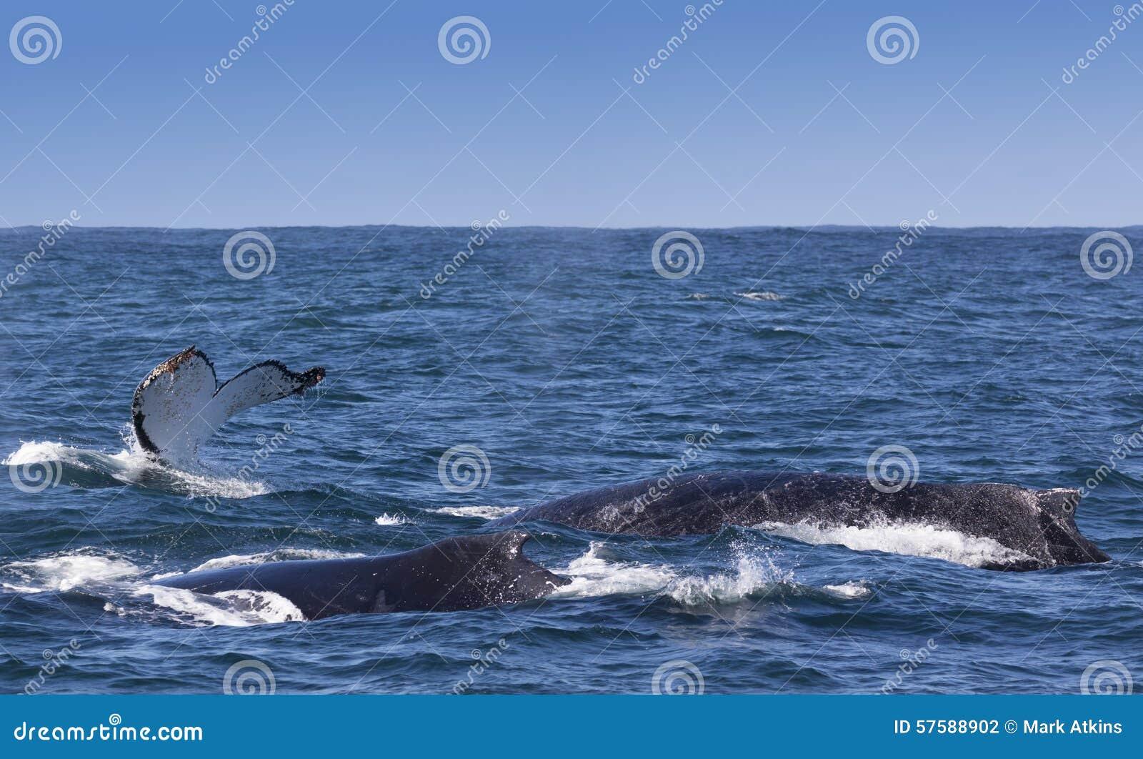 Trzy humpback wieloryba ukazuje się z wybrzeża Knysna