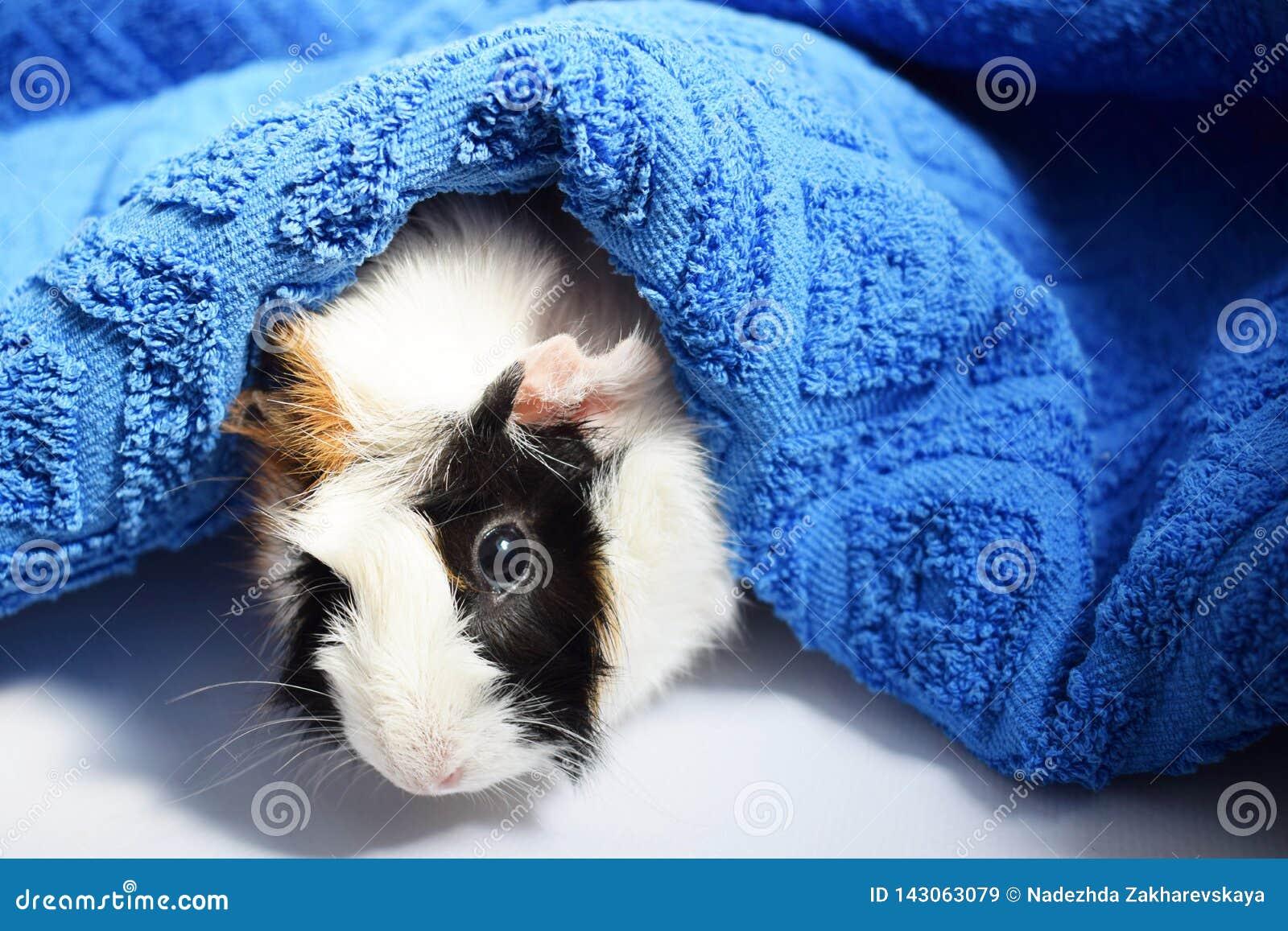 Trzy koloru królik doświadczalny i ręcznik