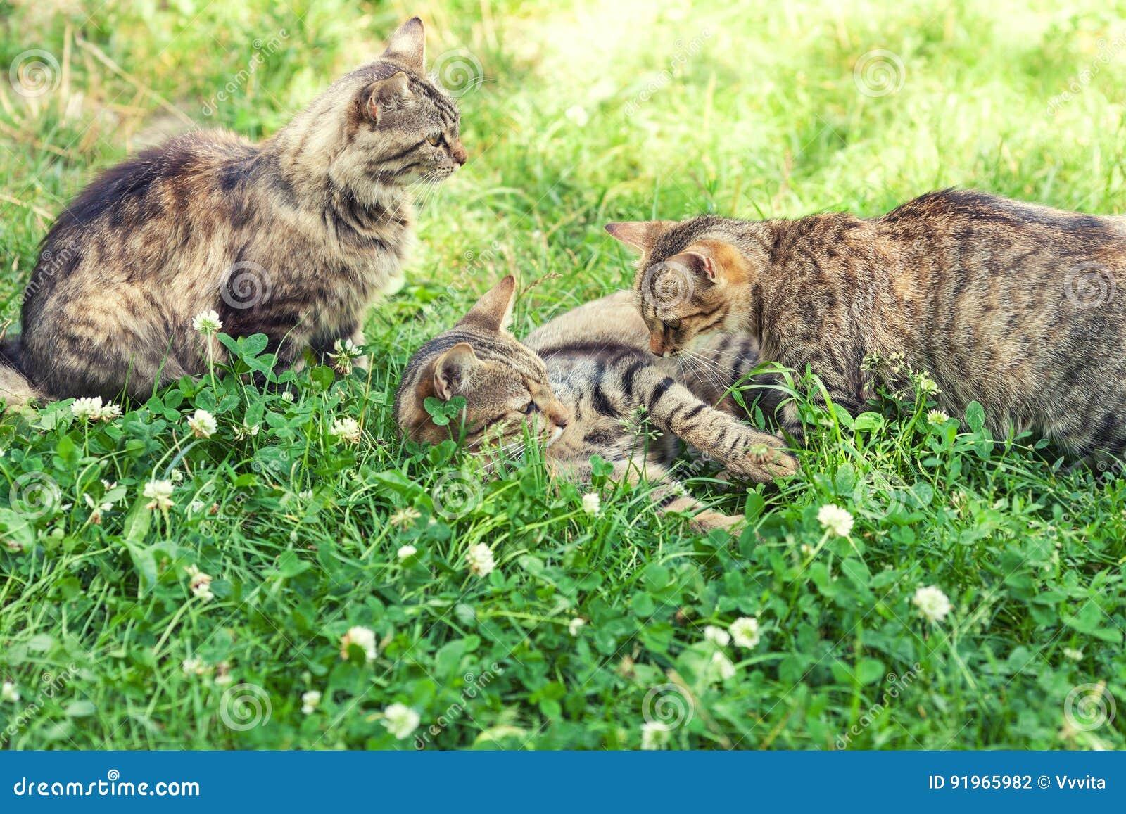 Trzy kota na trawie