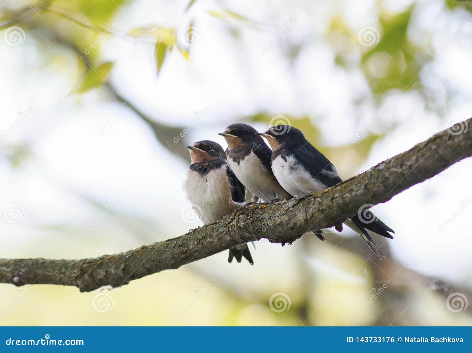 Trzy małej śmiesznej kurczątko stajni dymówki siedzi wpólnie na gałąź czekać na rodziców ptaki
