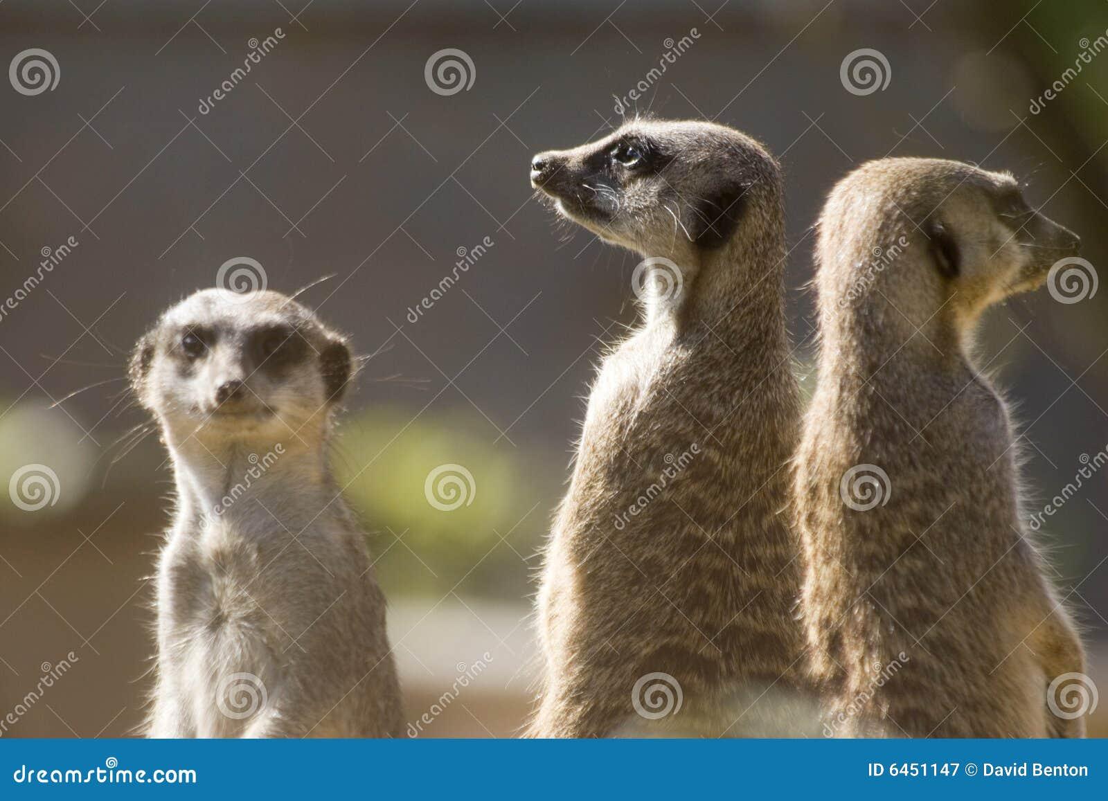 Trzy meerkats