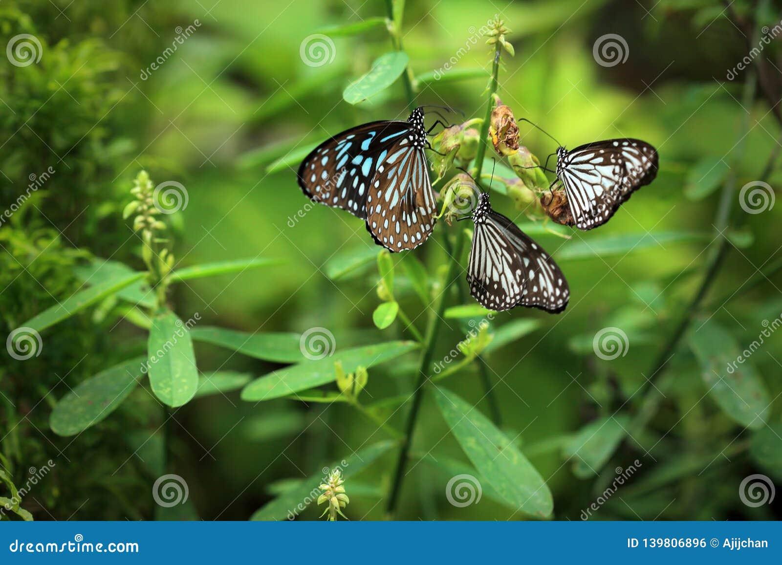 Trzy motyla siedzą na roślinie
