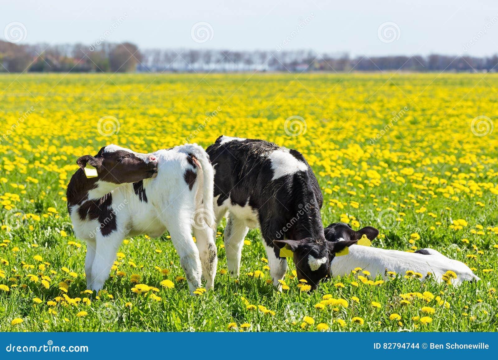 Trzy nowonarodzonego calfs w wiosny łące z dandelions