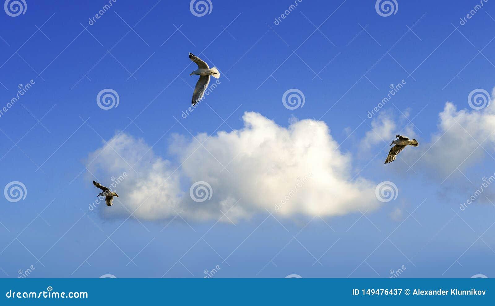 Trzy Seagull na frontowym niebieskim niebie