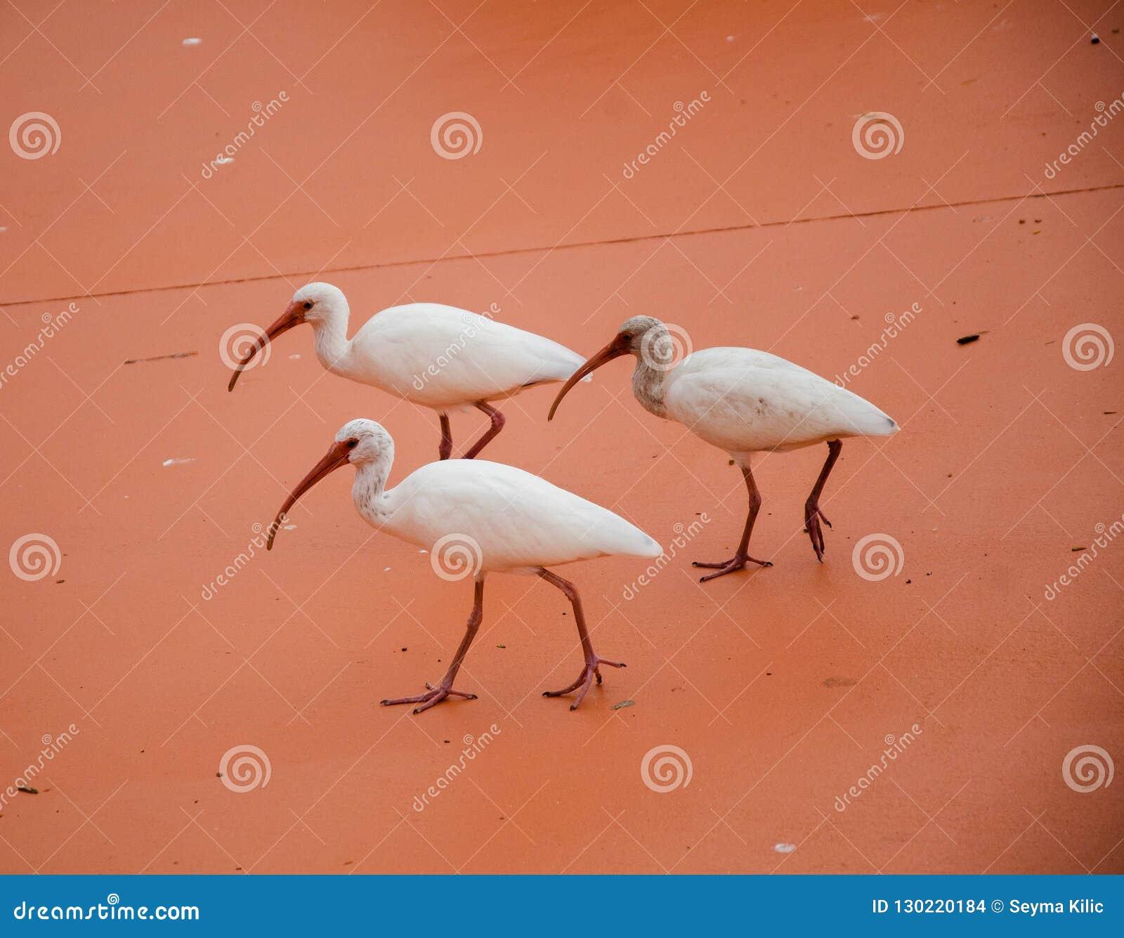 Trzy Spoonbills Chodzić