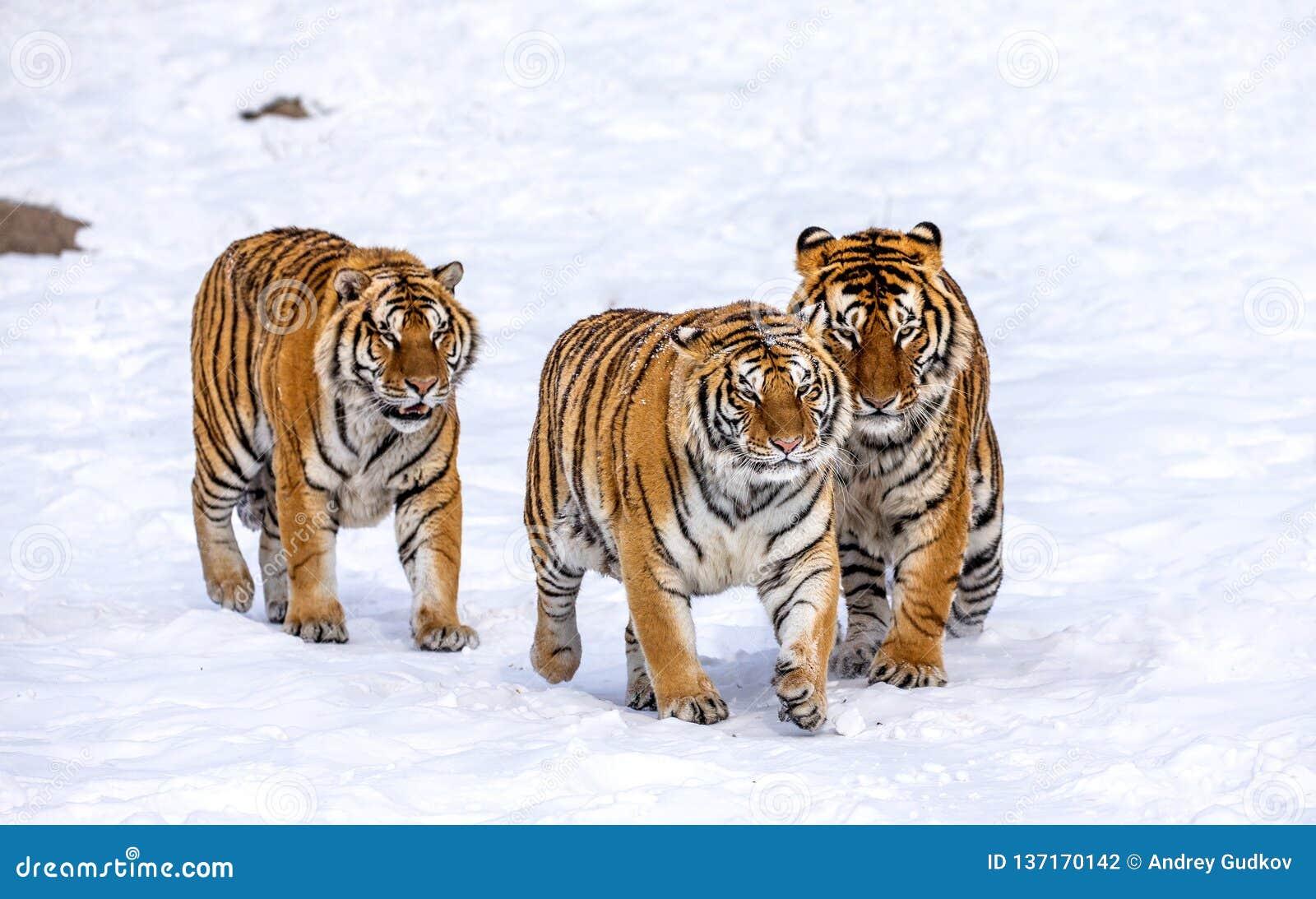 Trzy Syberyjskiego tygrysa chodzą w śnieżnej haliźnie Chiny harbin Mudanjiang prowincja Hengdaohezi park Syberyjskiego tygrysa pa