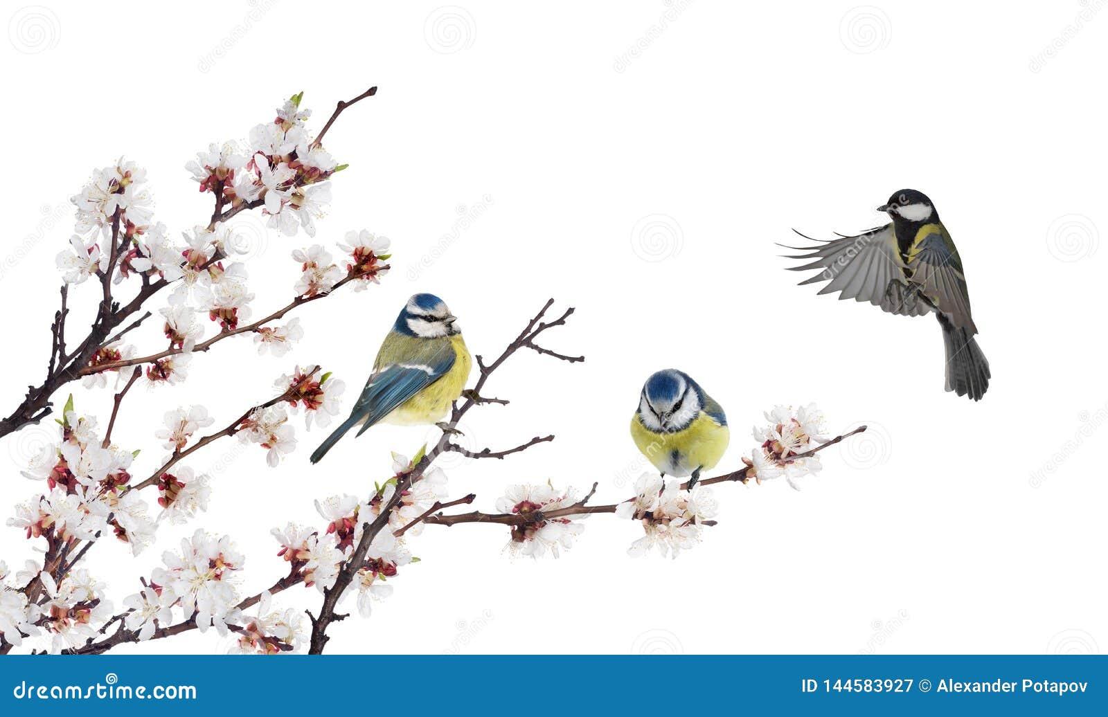 Trzy tits w czereśniowym drzewie kwitnie gałąź na bielu