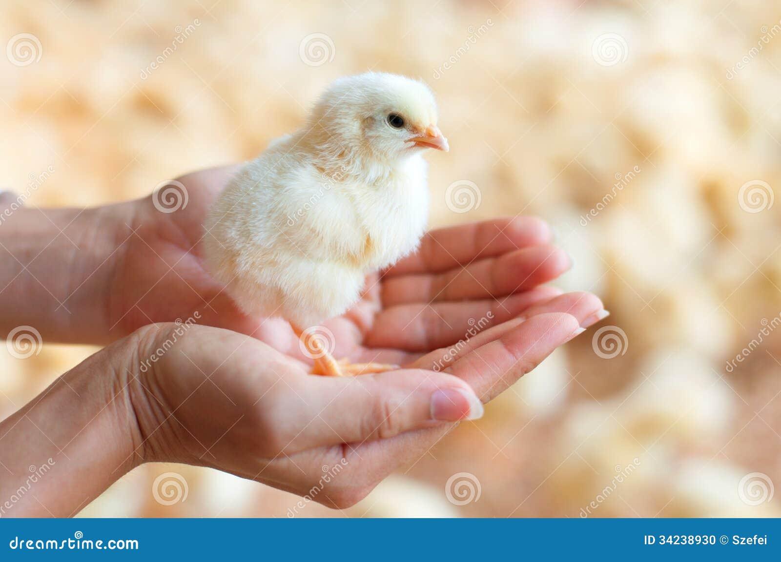 Trzymać kurczątka w ręce