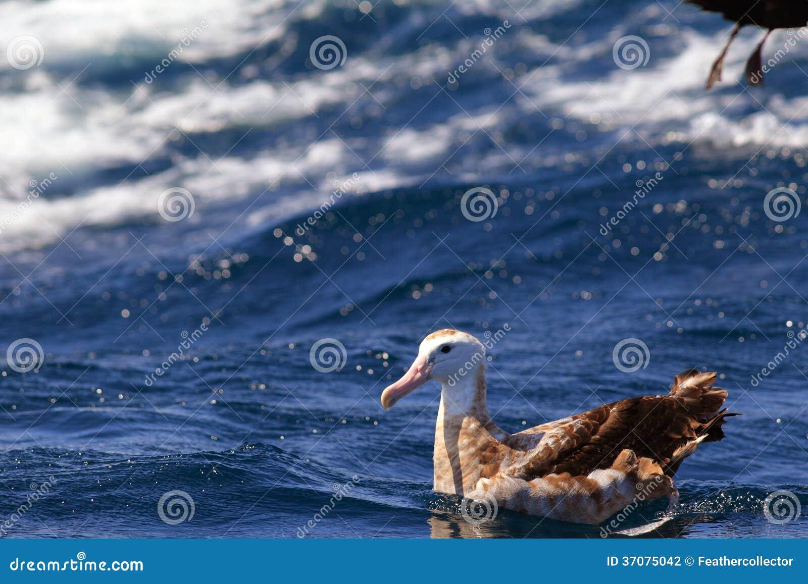 Download Tułaczy albatros zdjęcie stock. Obraz złożonej z zwierzę - 37075042