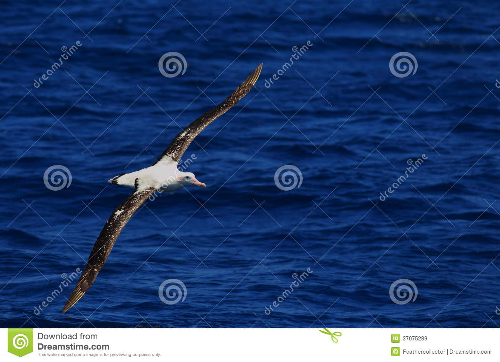 Download Tułaczy albatros obraz stock. Obraz złożonej z glim, czerń - 37075289