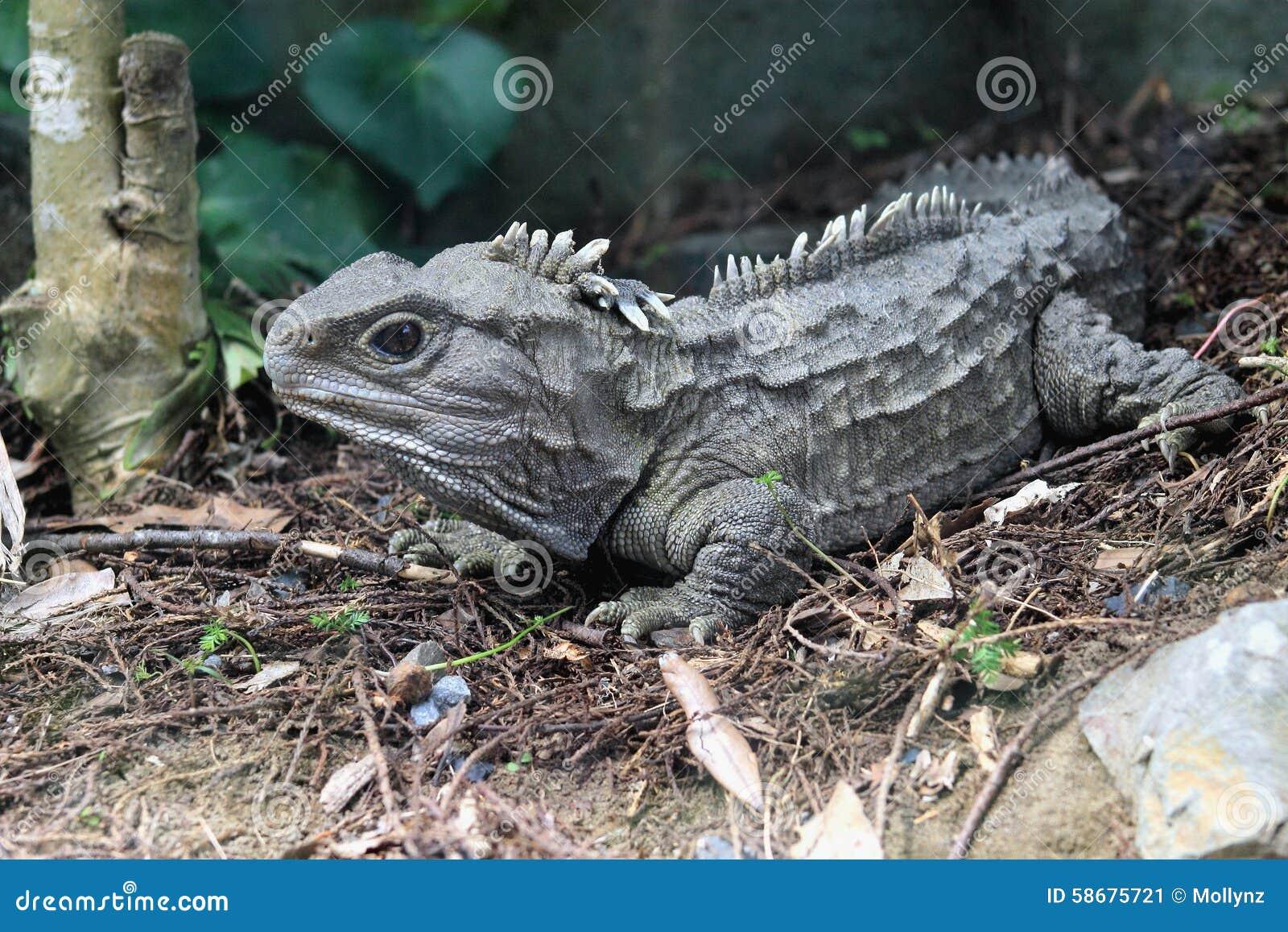 Tuatara Stock Image Of Dinosaur Wildlife Lizard