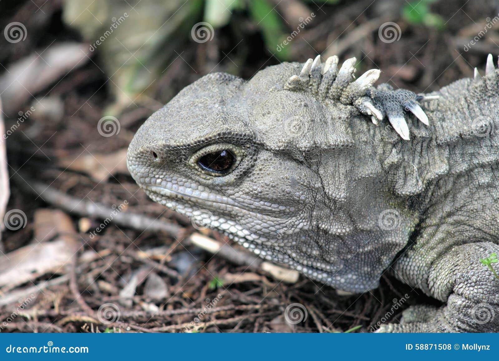 Tuatara Stock Photo Image Of Endemic Dinosaur
