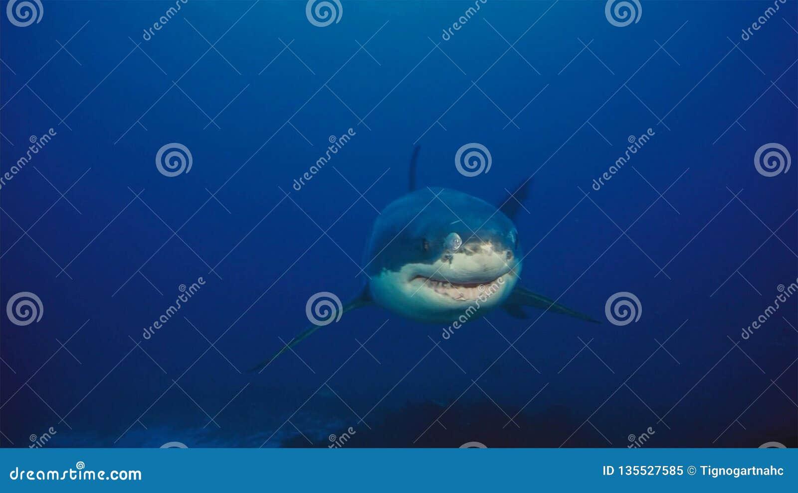 Tubarão branco/grande tubarão branco na água azul profunda