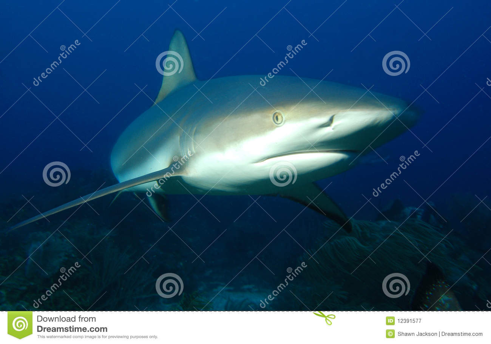 Tubarão cinzento do recife