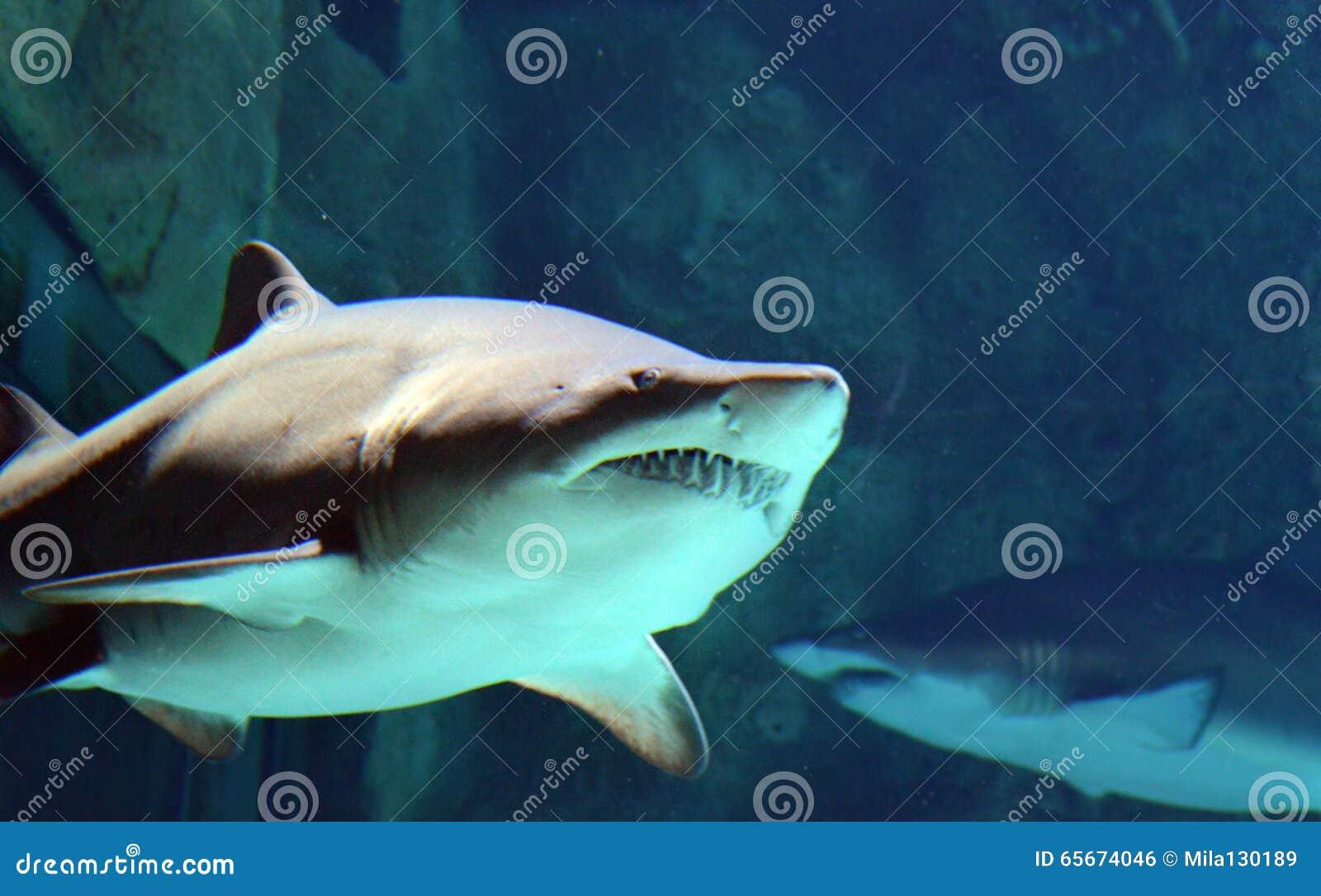 Adesivo Boca De Tubarão ~ Tubar u00e3o Com Boca Aberta Foto de Stock Imagem 65674046