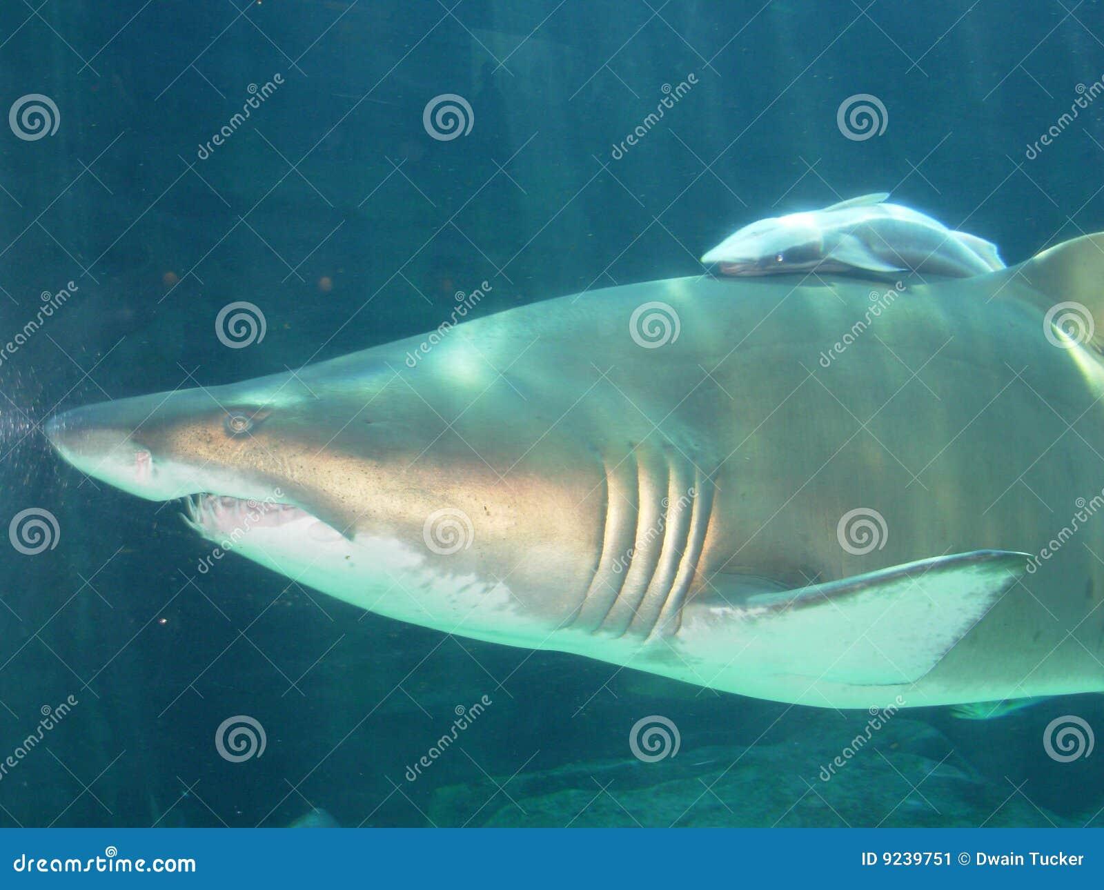 Tubarão da matriz e tubarão do bebê, África do Sul