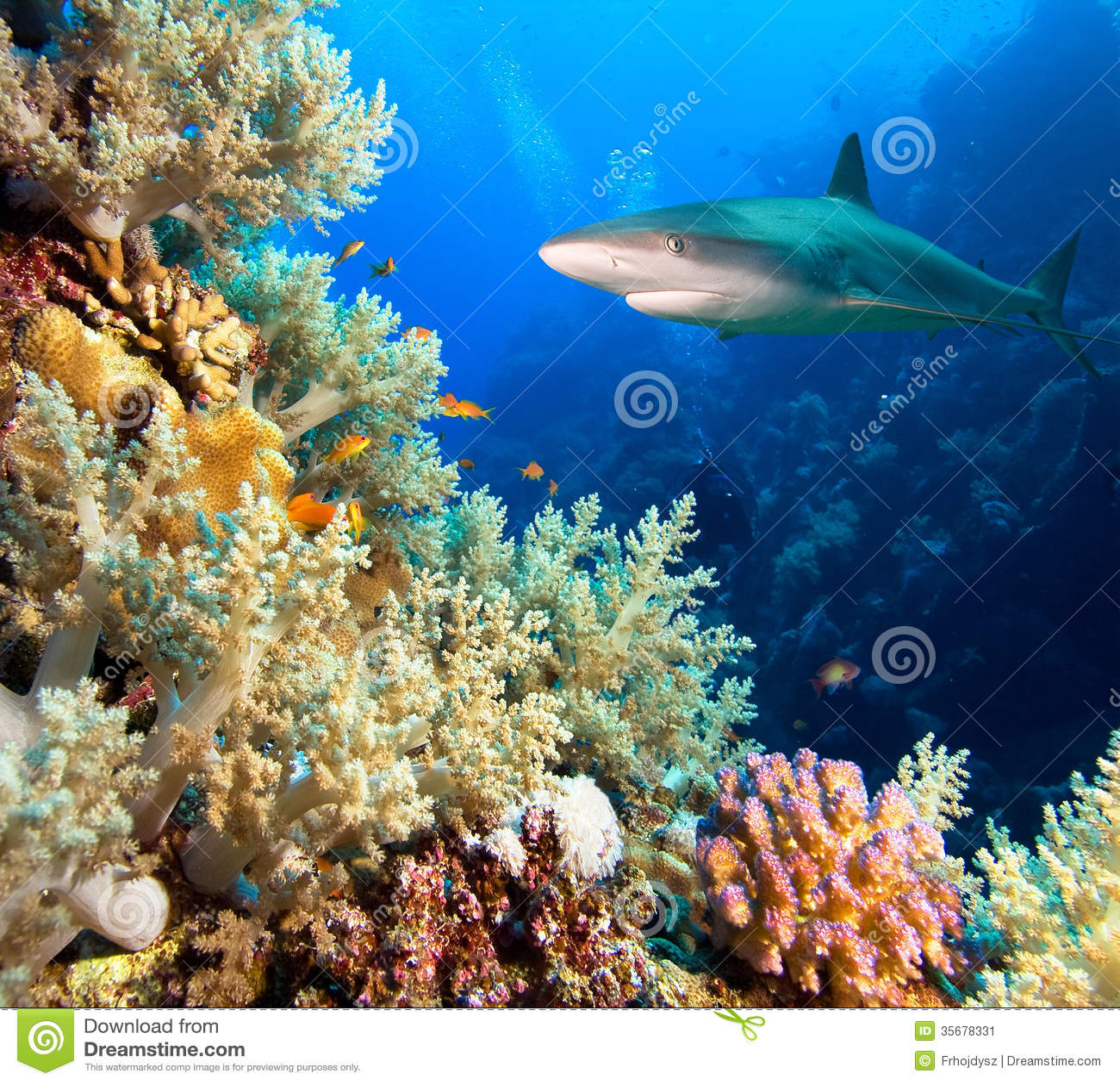 Tubarão das caraíbas do recife