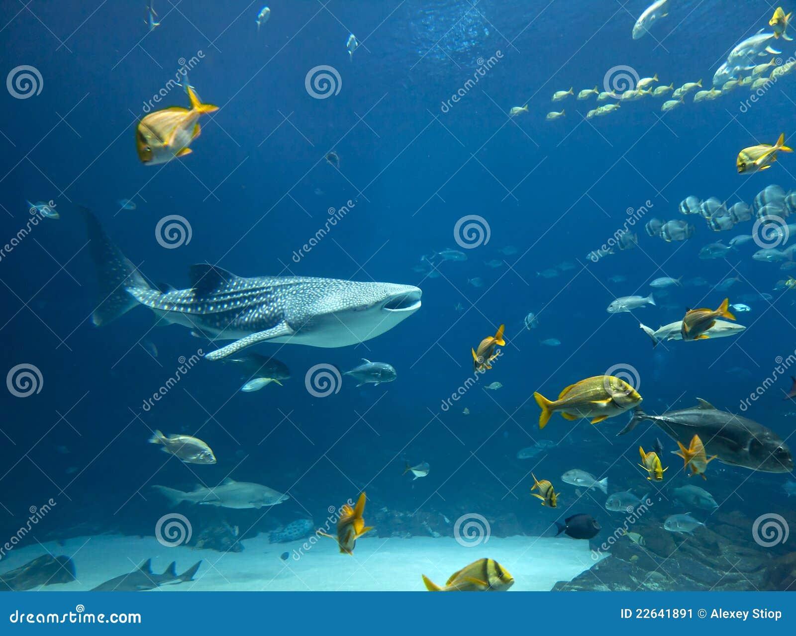 Tubarão de baleia