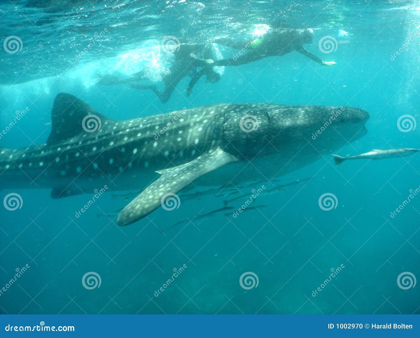 Tubarão de baleia com snorkelers