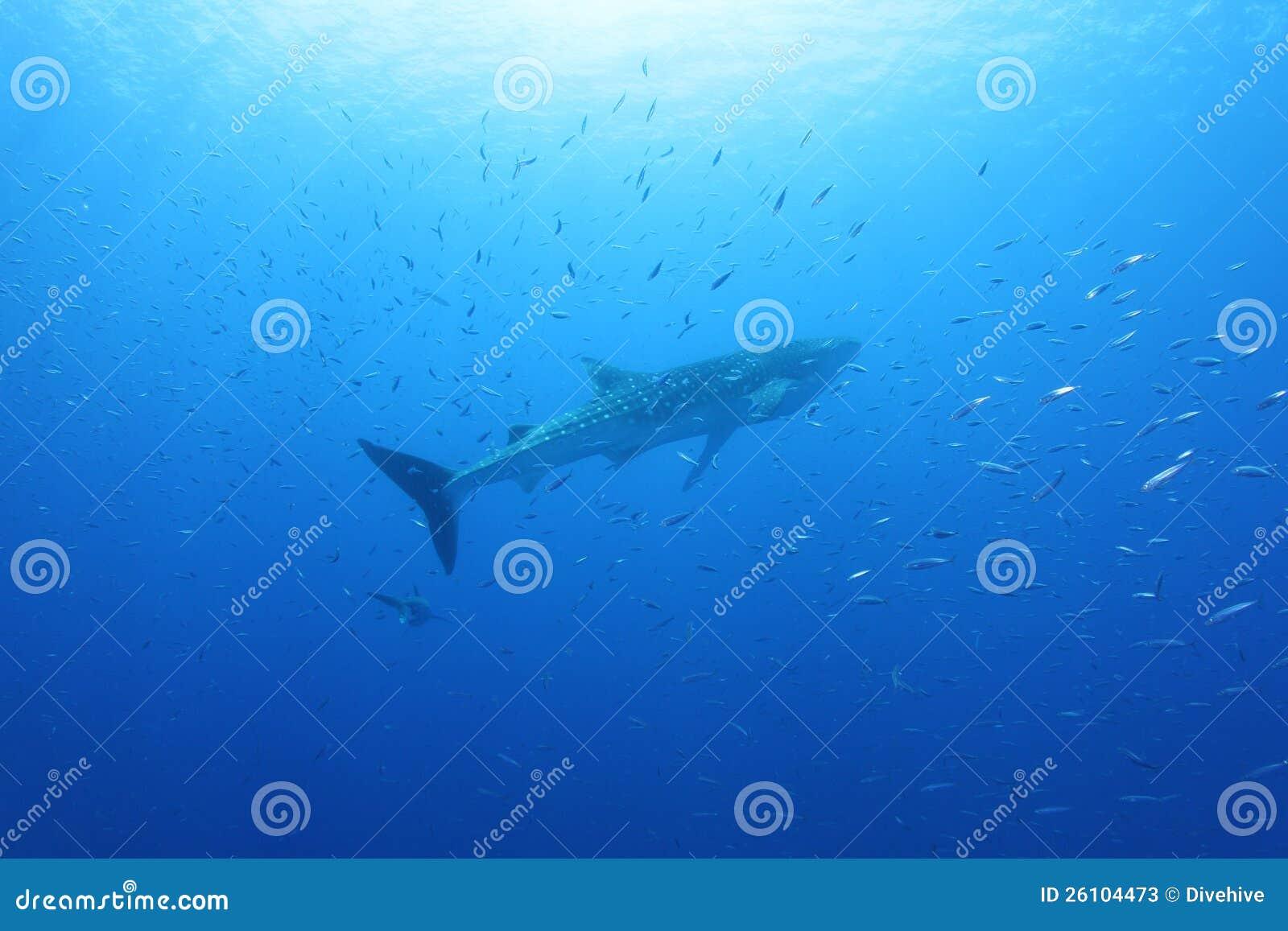 Tubarão de baleia no Mar Vermelho