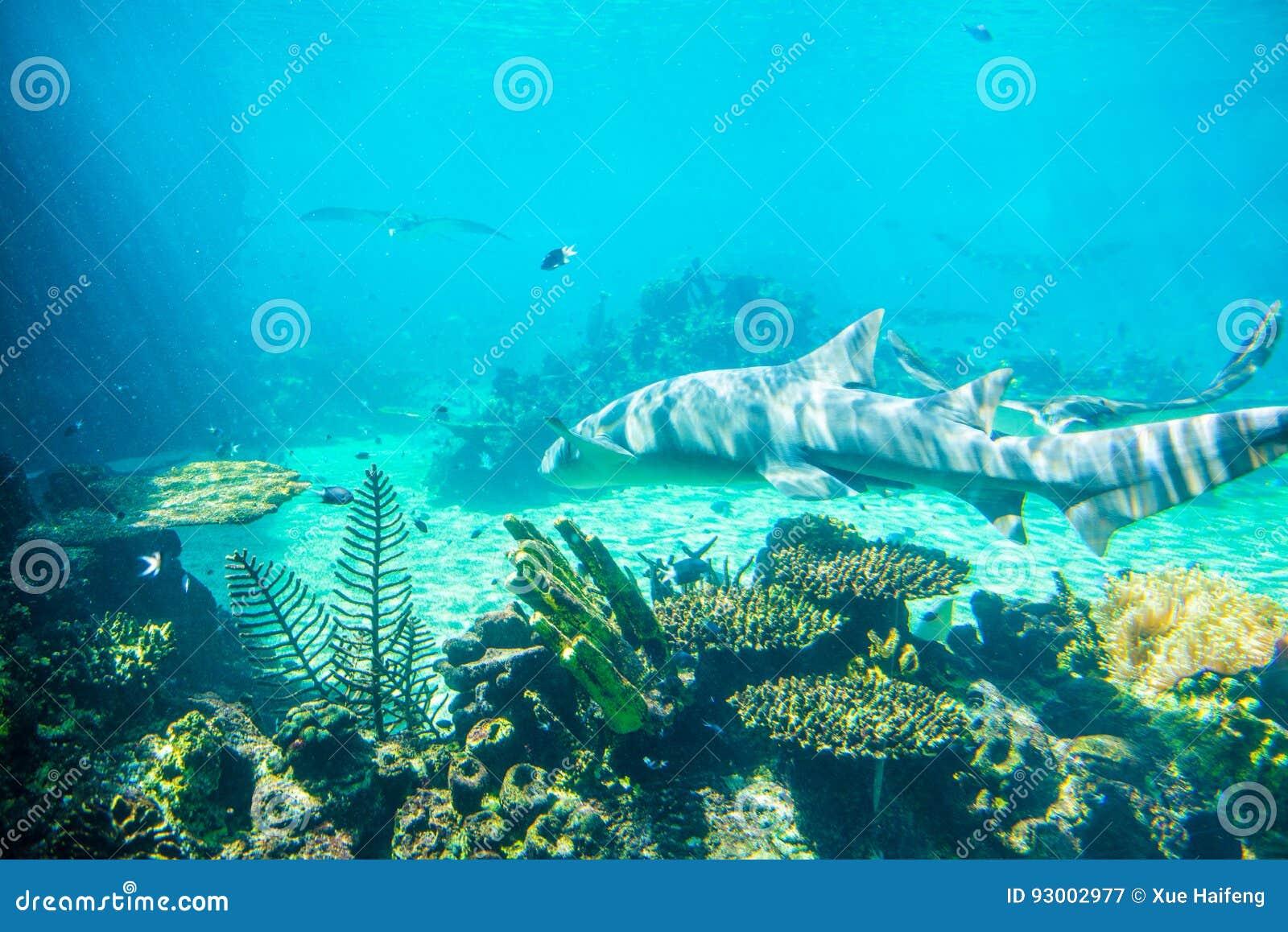 Tubarão de limão
