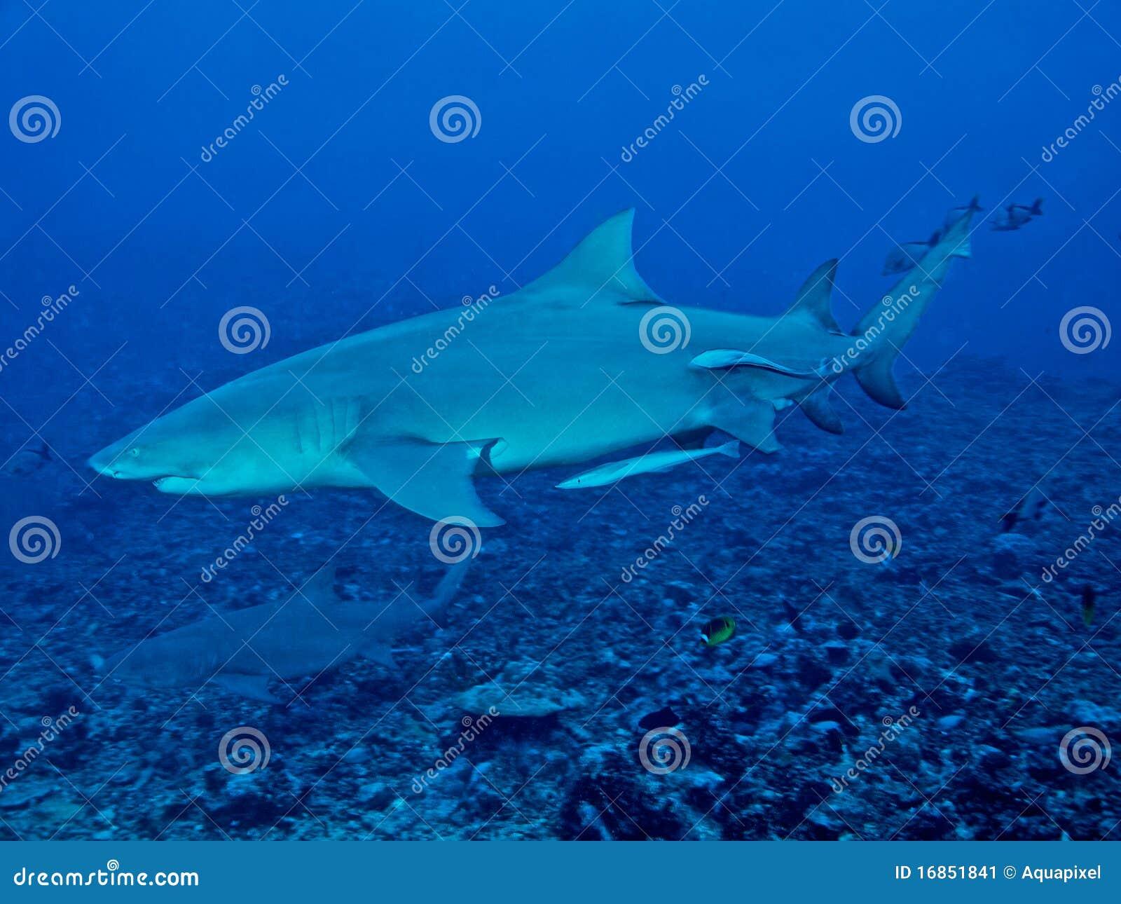 Tubarão de limão (brevirostris do Negaprion)