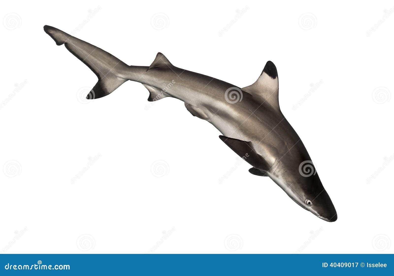Tubarão do recife de Blacktip que nada para baixo, melanopterus do Carcharhinus