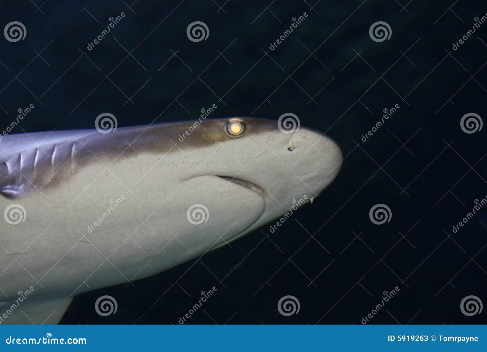 Tubarão preto da ponta