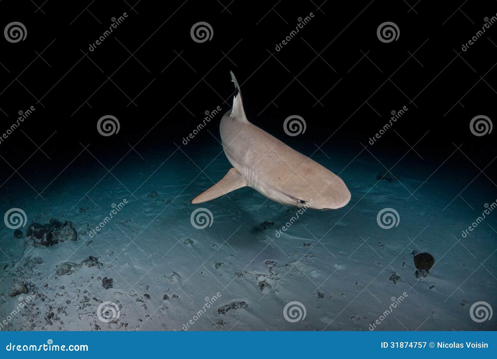 Tubarão preto da ponta em maldives
