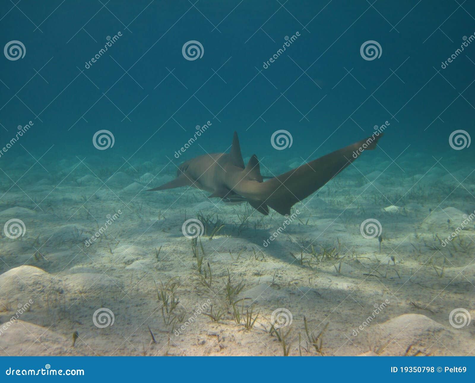 Tubarão subaquático