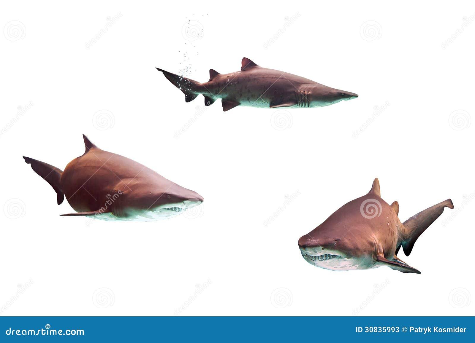 Tubarões de touro perigosos