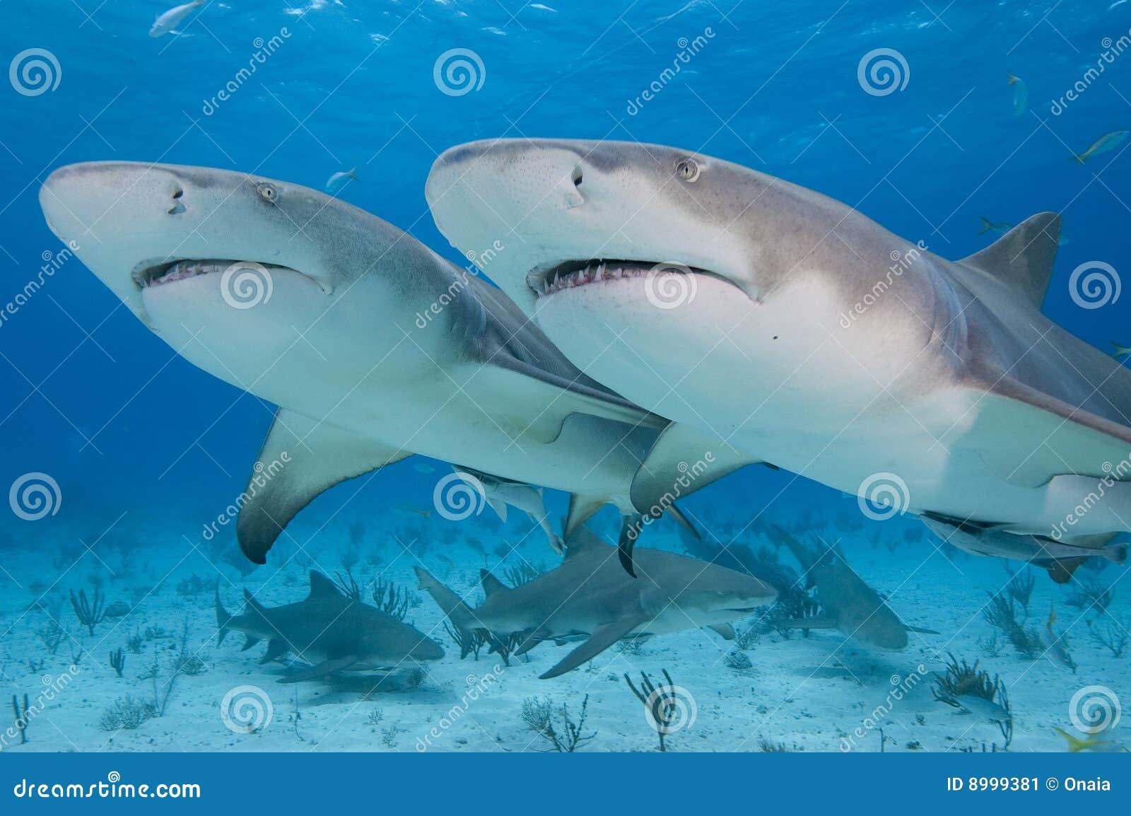 Tubarões gêmeos