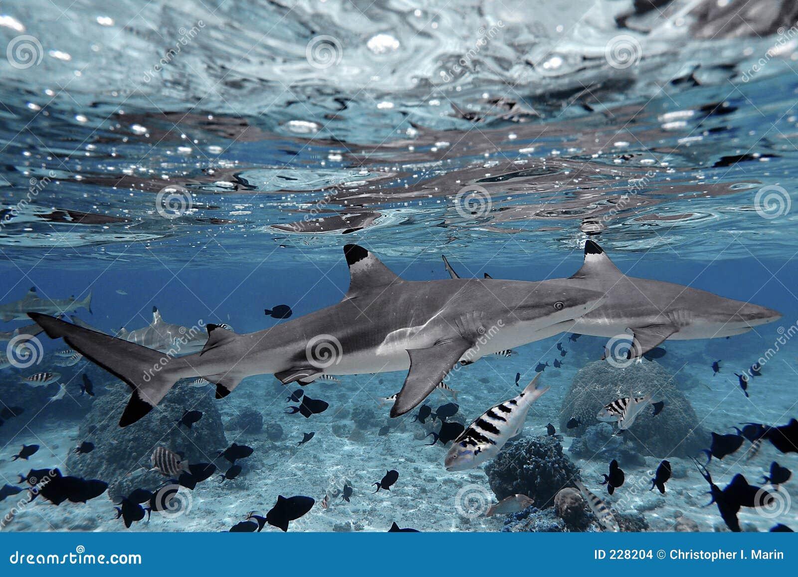 Tubarões que nadam no cristal - água desobstruída