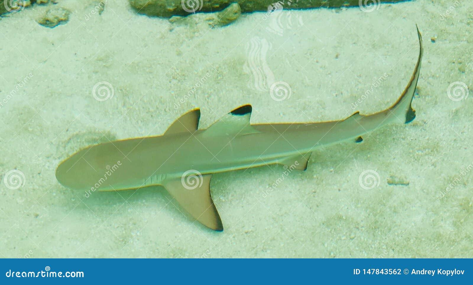 Tubar?o do recife de Whitetip maldives Ilha de Ellaidhoo