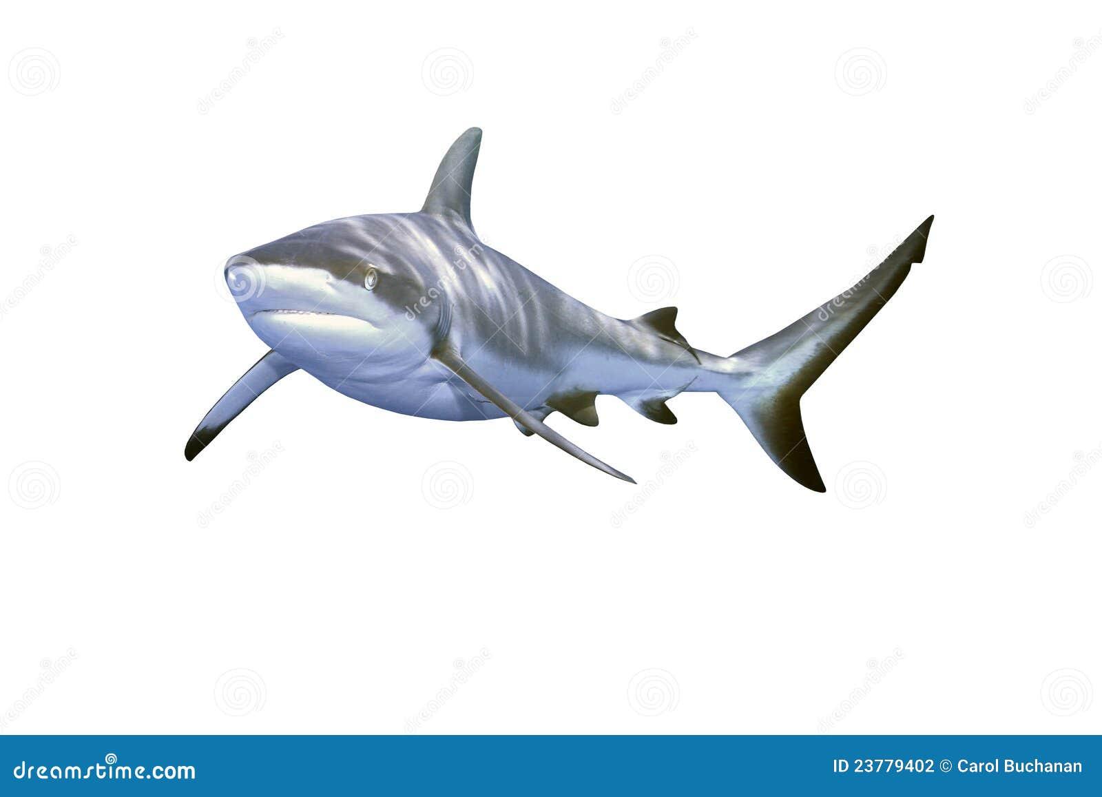 tubar 227 o cinzento do recife fotografia de stock imagem