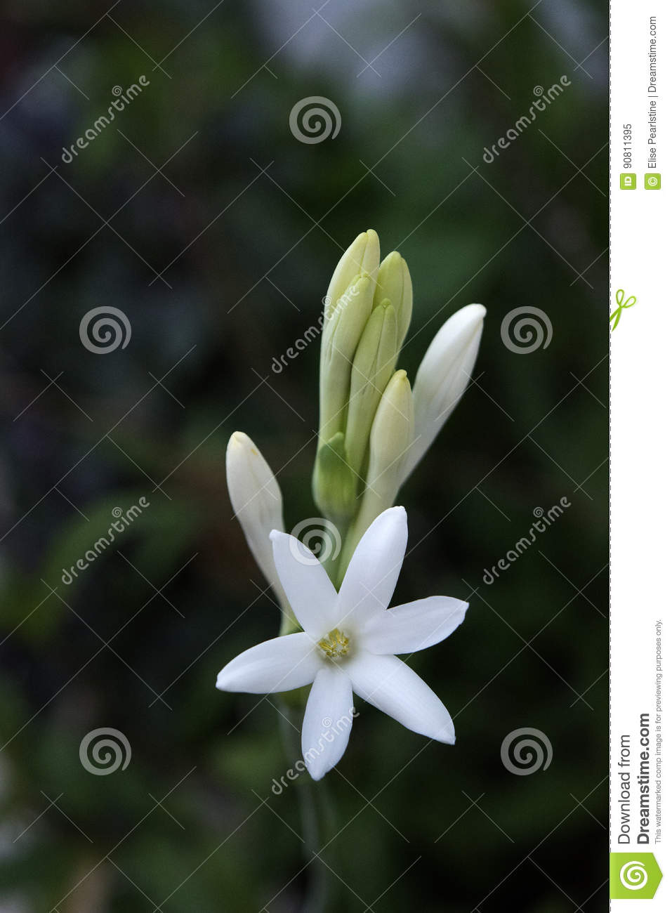 Tuberose Flower Spike Stock Image Image Of White Mexicans 90811395