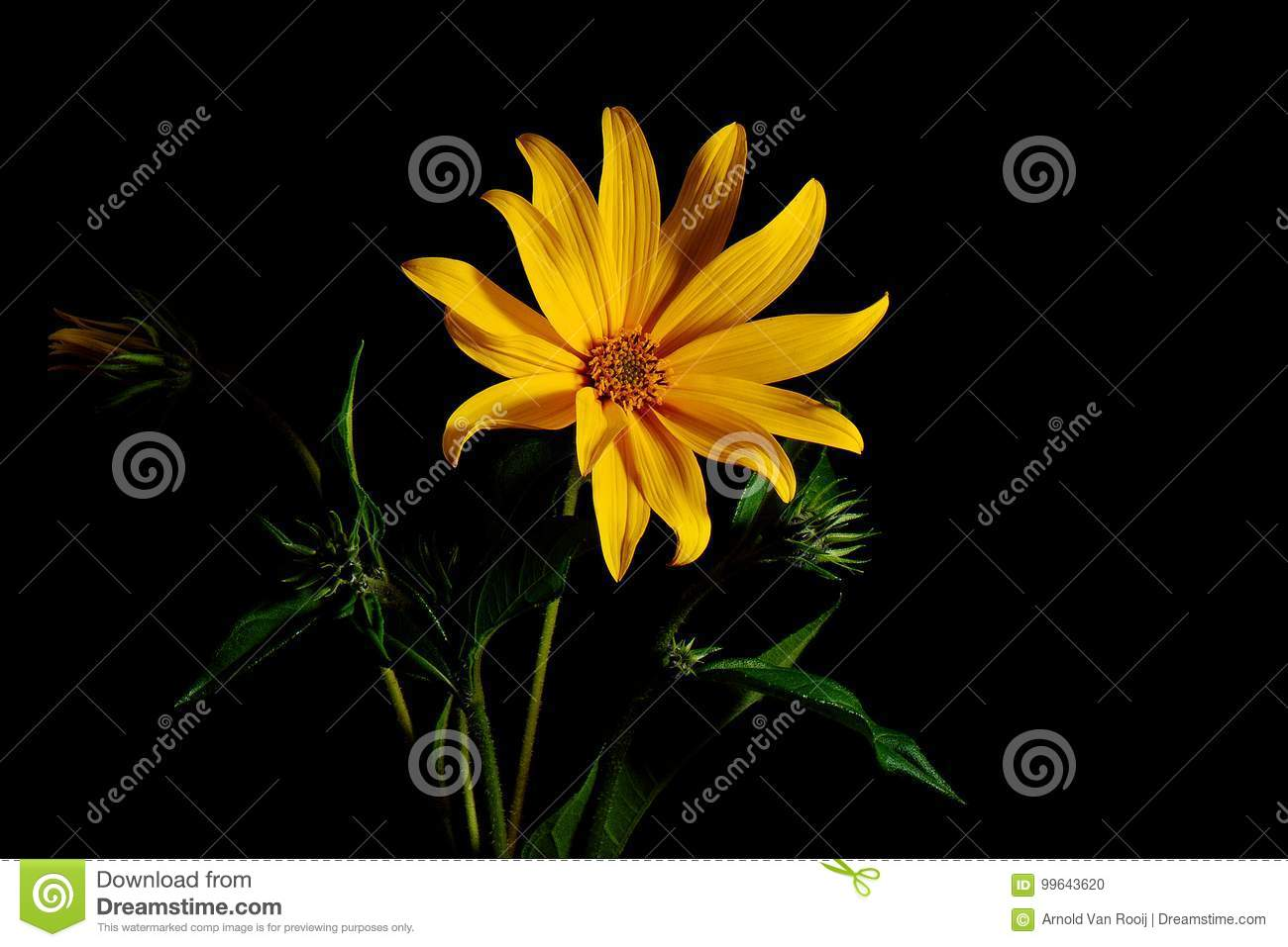 tuberosus de helianthus de fleur de topinambour photo stock image du pomme fond 99643620. Black Bedroom Furniture Sets. Home Design Ideas