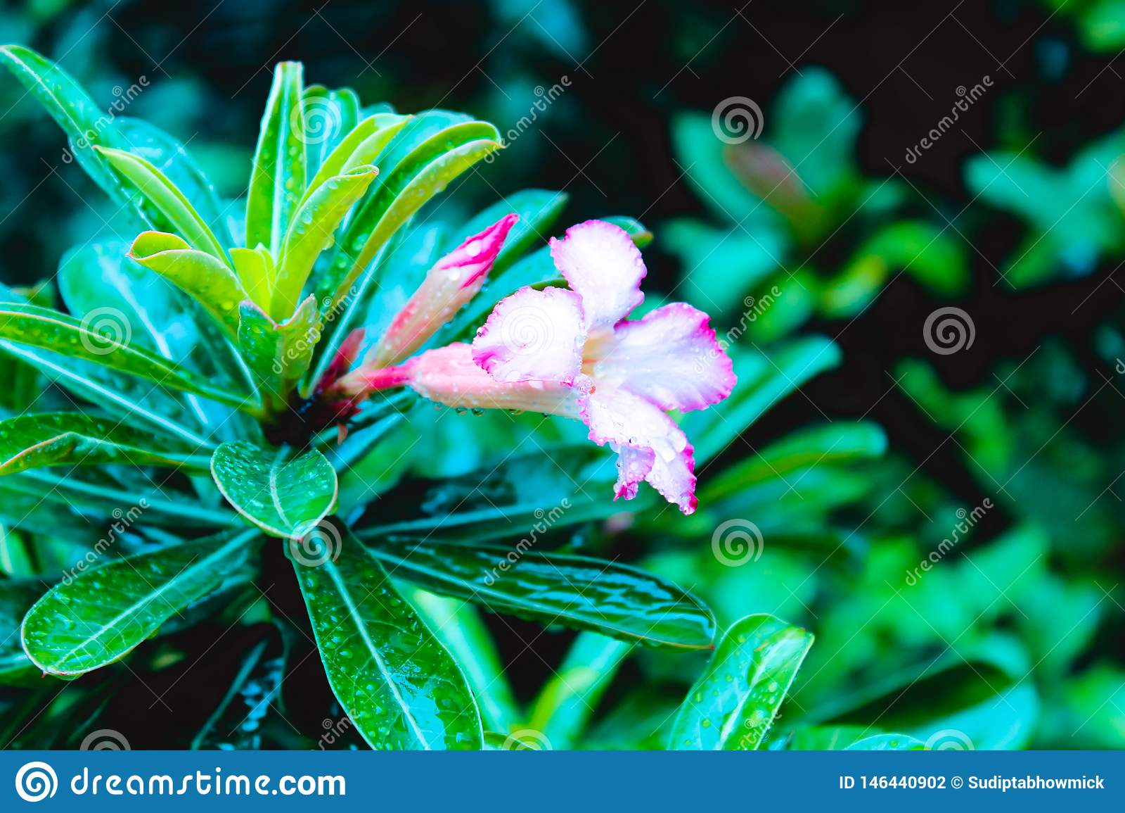 Tubowego winogradu pełzacza Campsis radicans są kwiatonośnym rośliną rodzinny Bignoniaceae, miejscowy, Europa i ameryka łacińska,