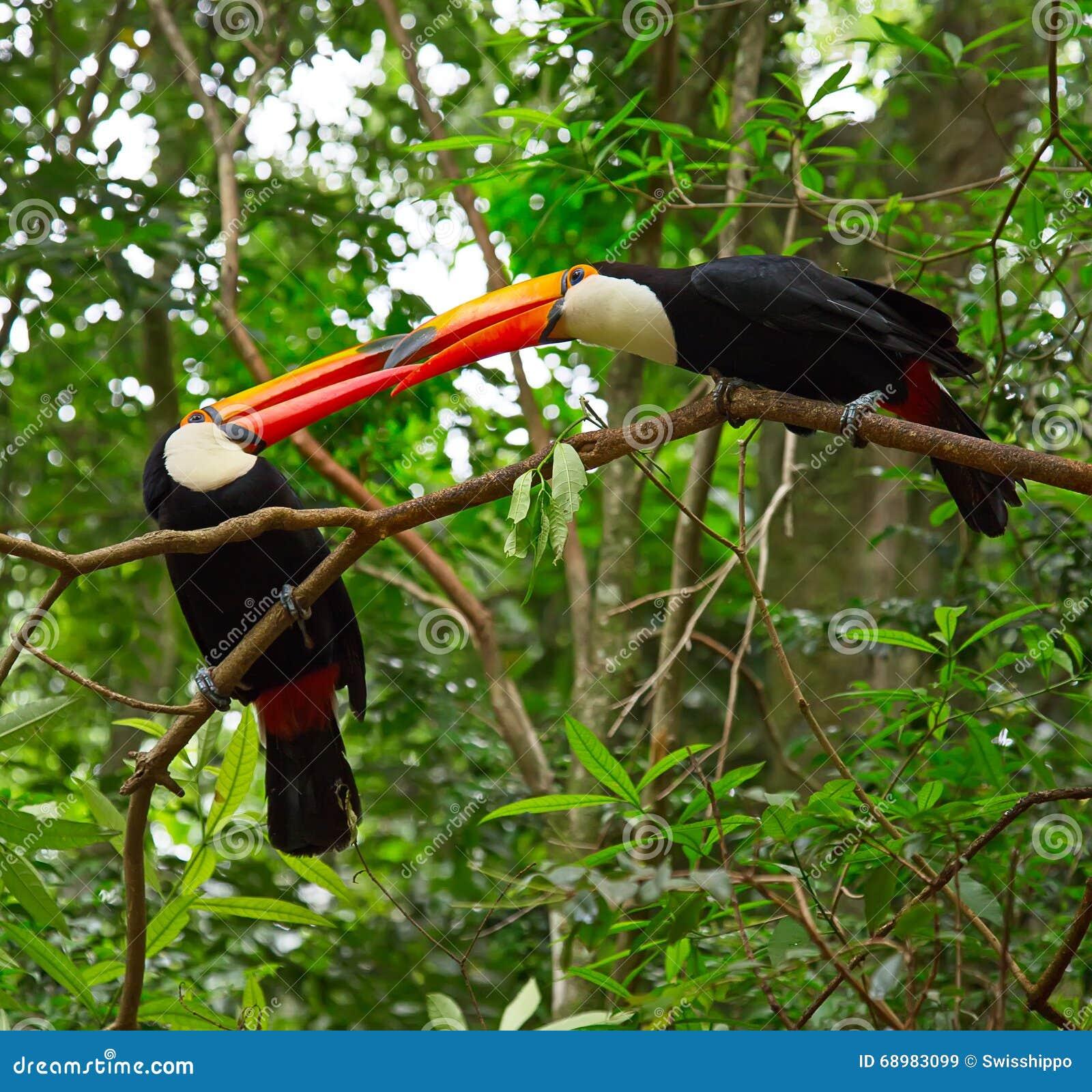 Tucan colorido