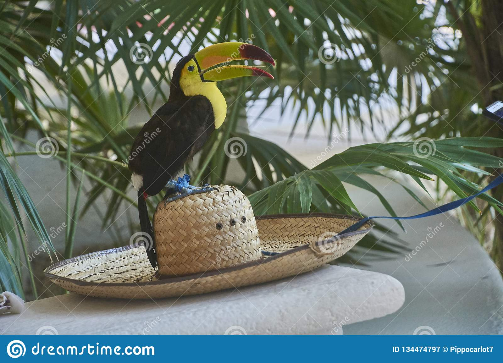 Tucan on the hat. Portrait close up of an exotic toucan with huge beak and yellow chest royalty free stock photography