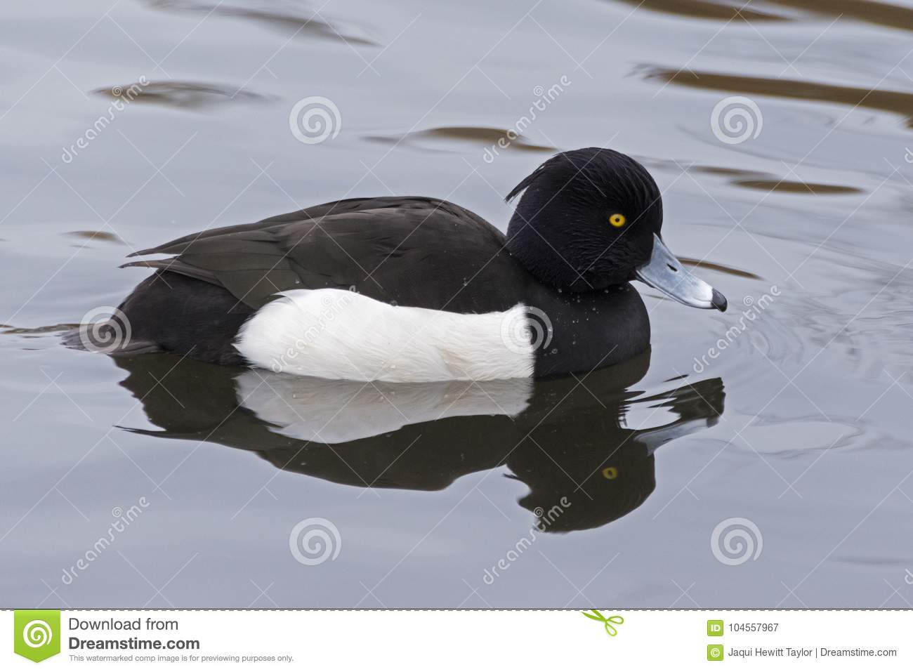 A Tufted Duck swimming on the Cemetery Lake, Southampton Common