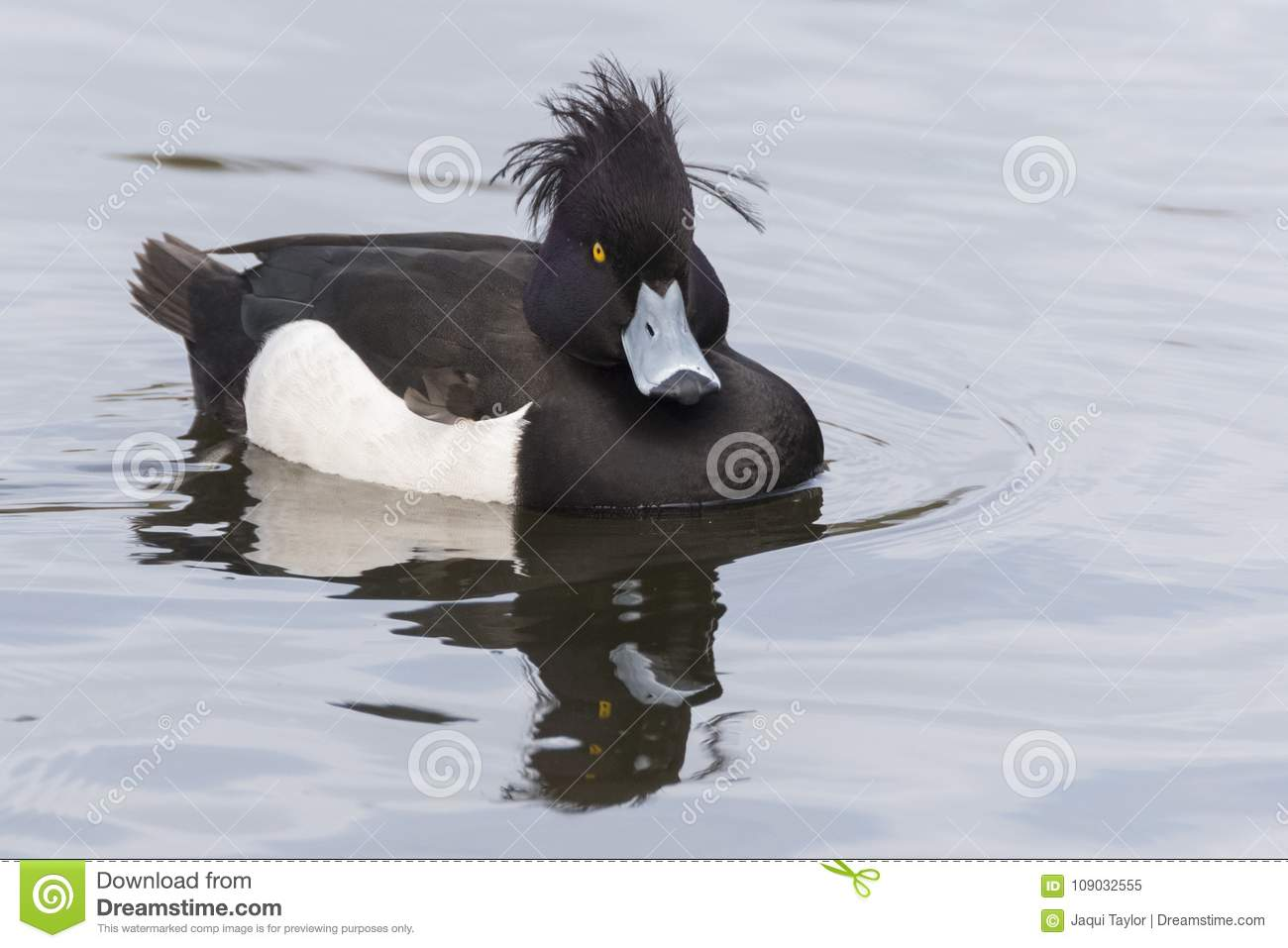 A tufted duck with windswept feathers