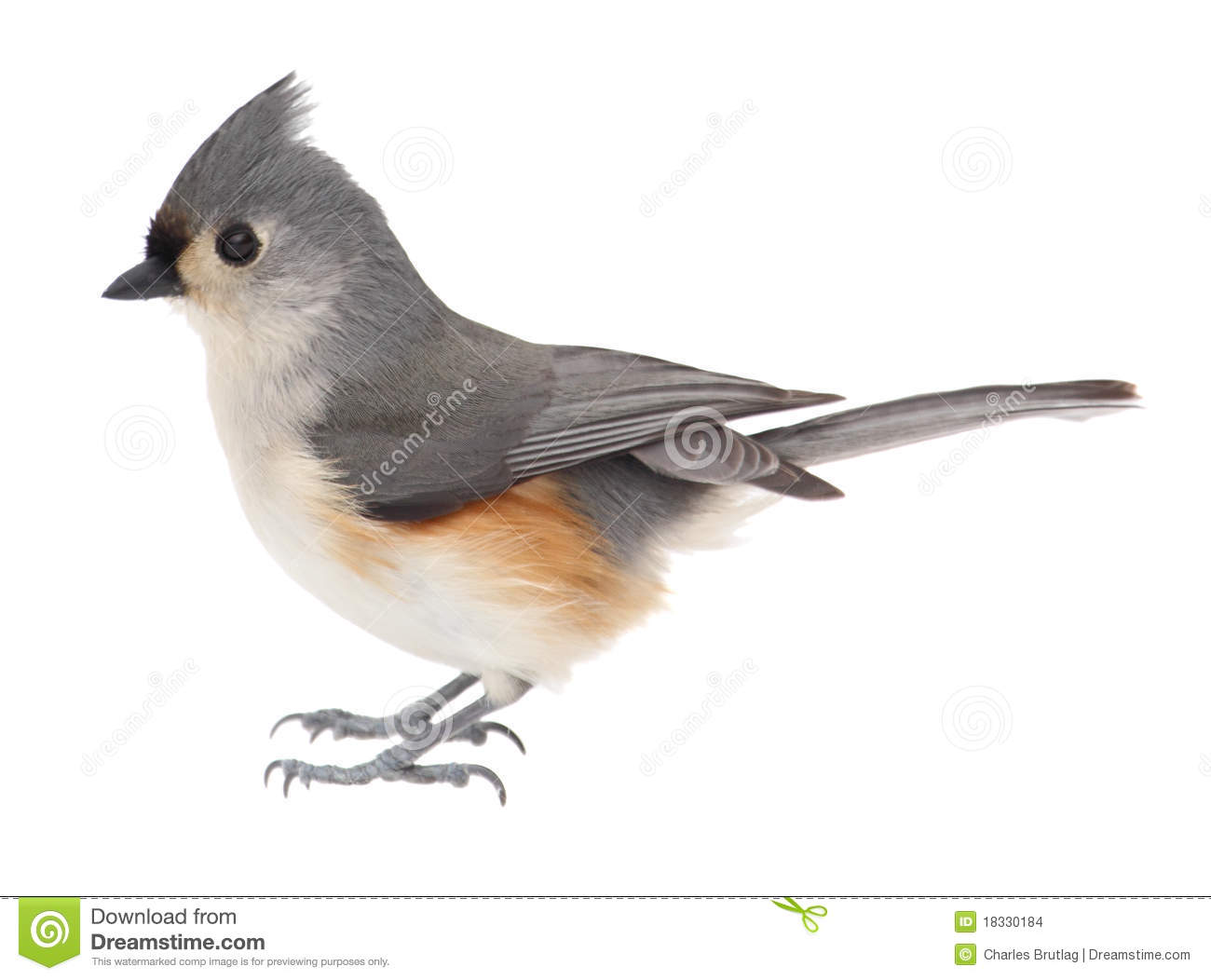 Tufted Titmouse, Baeolophus Bicolor, Isolated Stock Images - Image ...