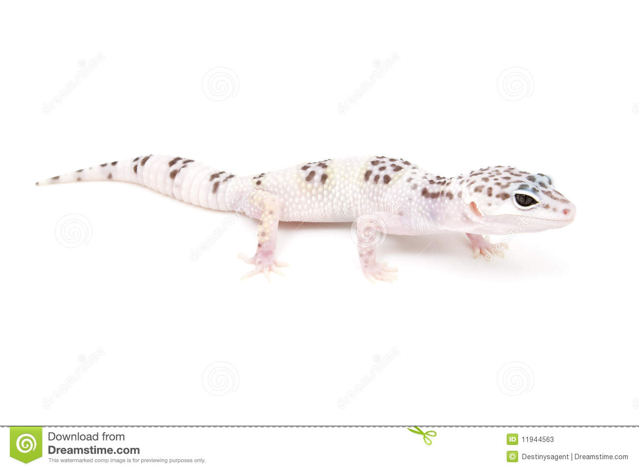 Tug Hypo Leopard Gecko Stock Images - Download 2 Royalty