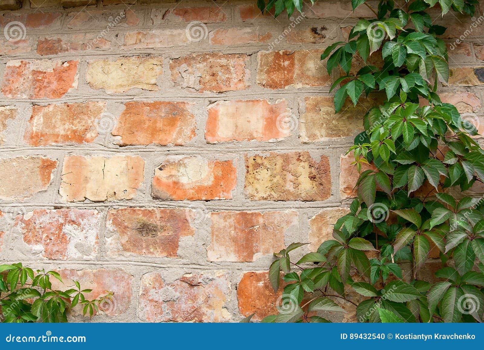 Bakstenen Muur Tuin : Tuin wilde druiven met de herfstbladeren op een bakstenen muur stock