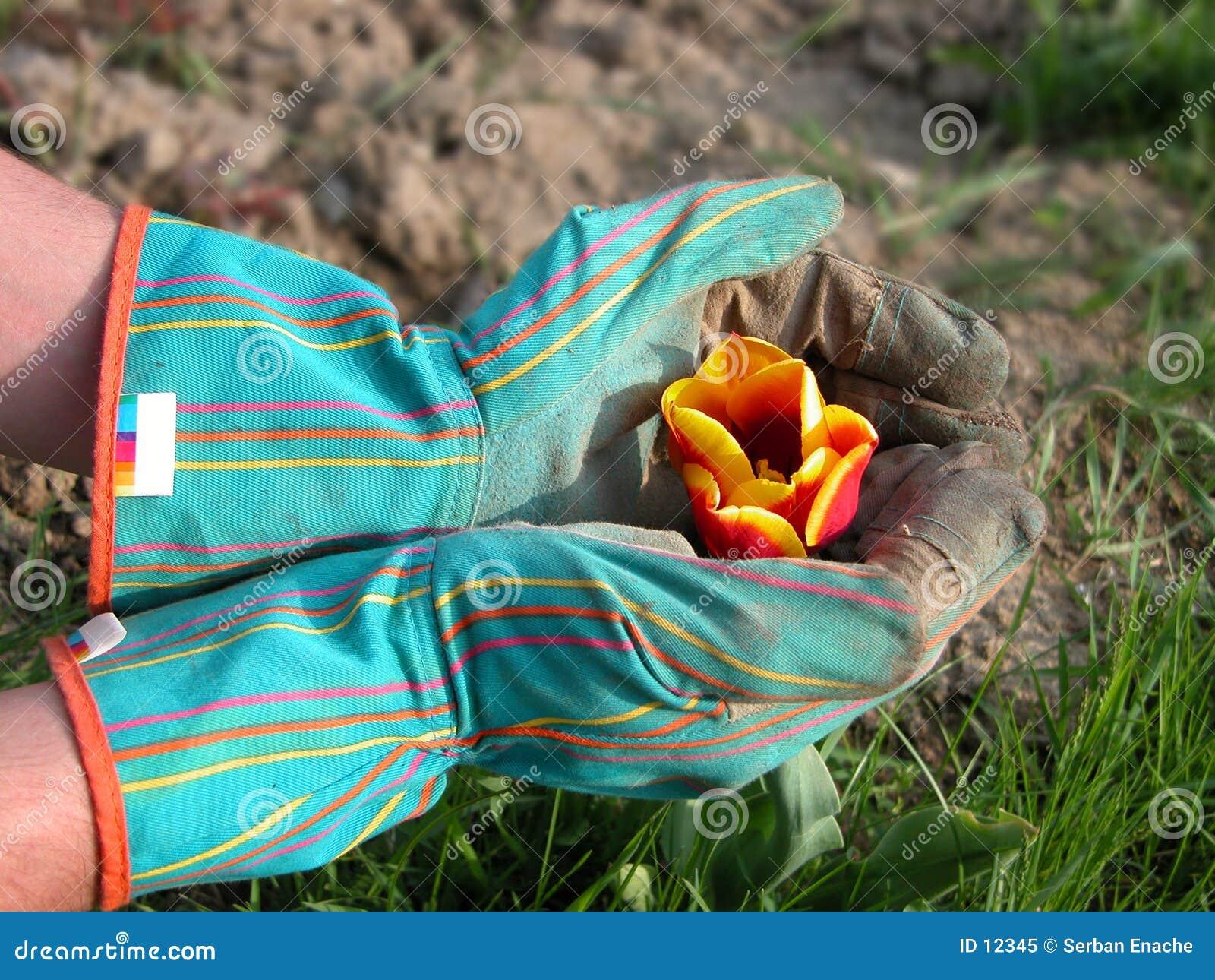 Tuinman die een tulp beschermt