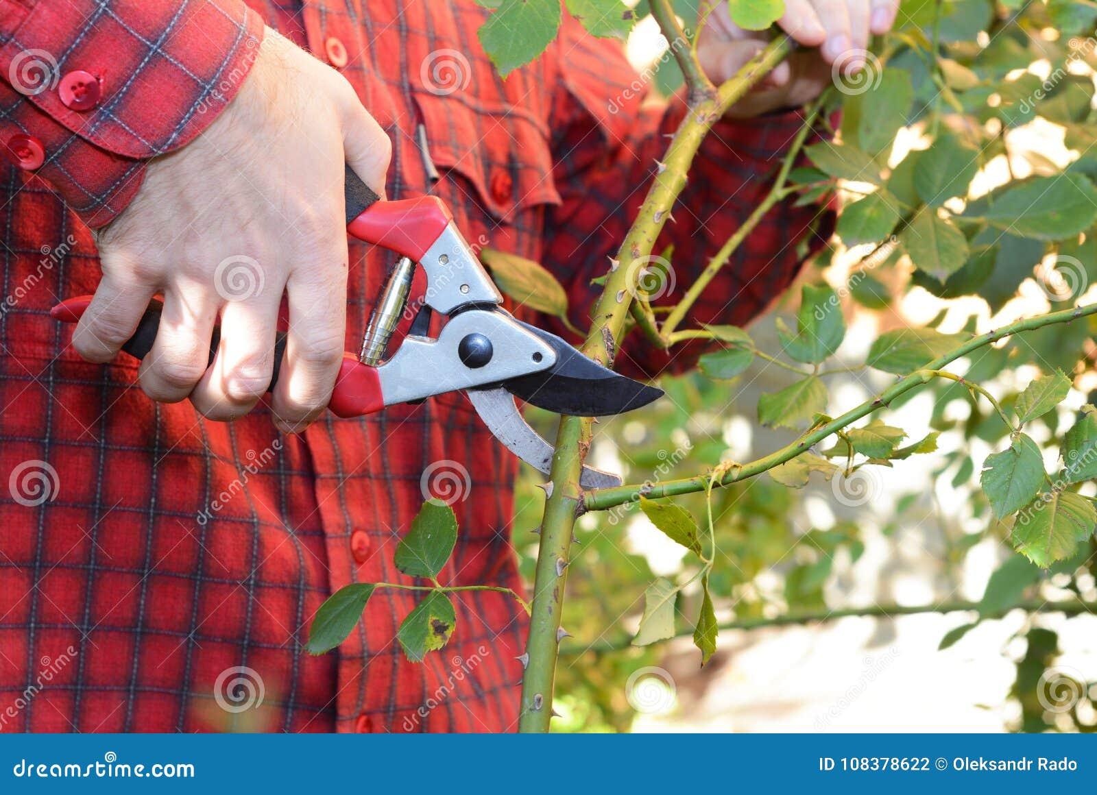 Tuinman die met tuin het snoeien schaar beklimmend rozen for Opleiding tuin