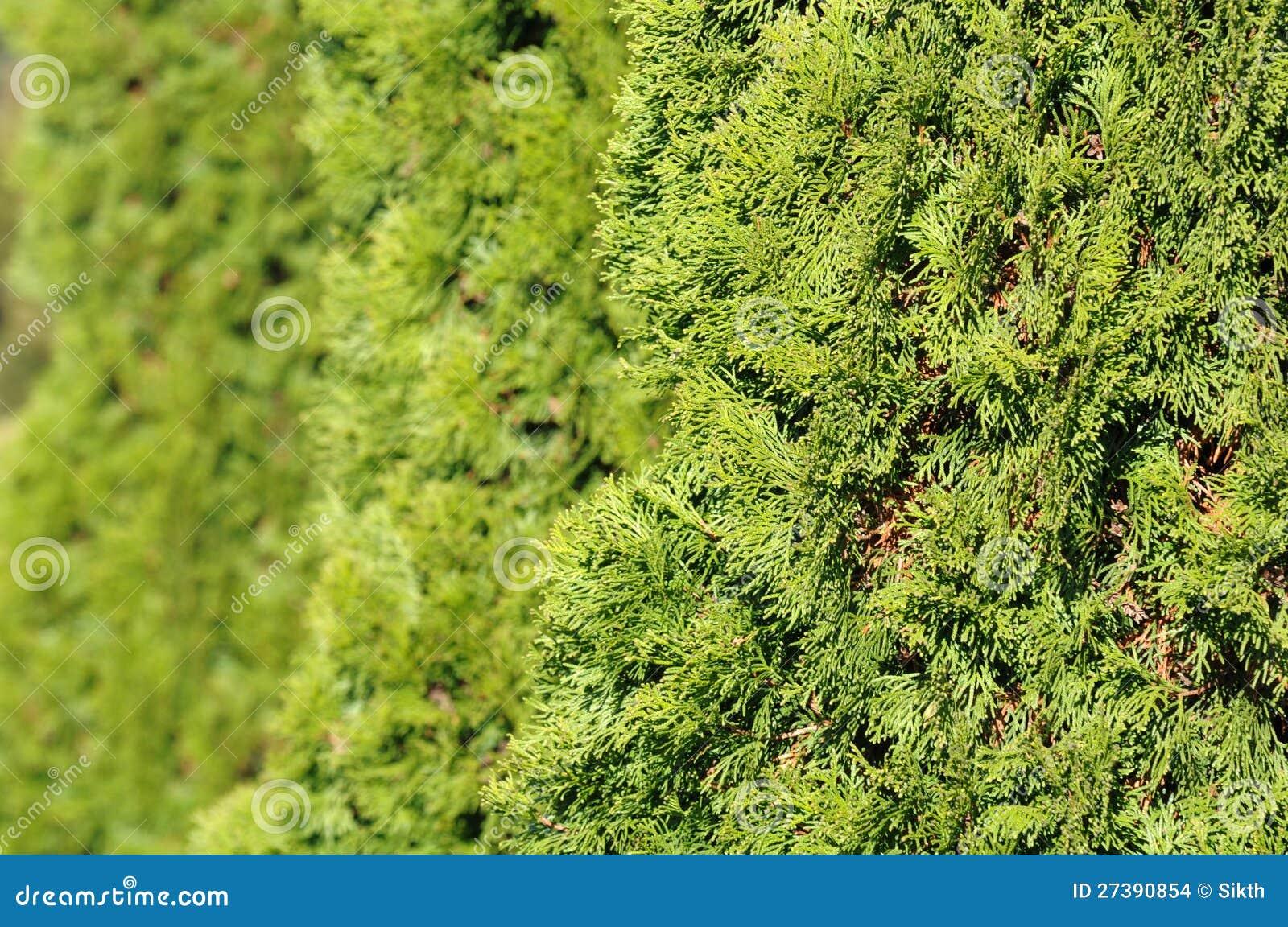 Green Hedge Plants