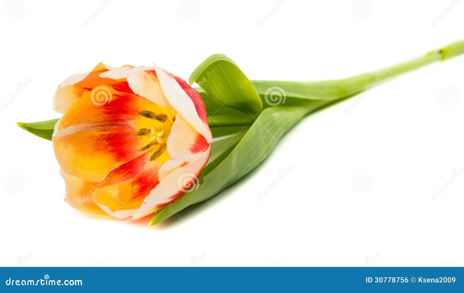Tulipán aislado