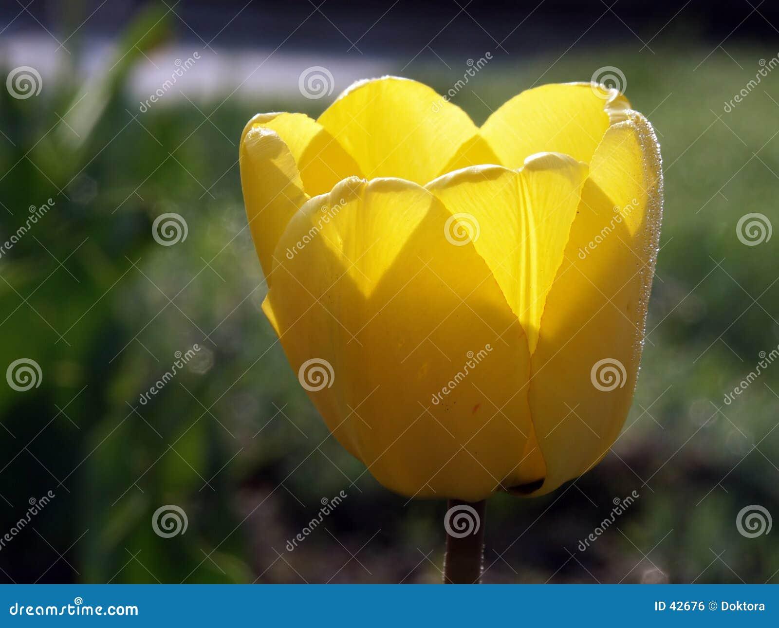 Download Tulipán amarillo #01 foto de archivo. Imagen de floración - 42676